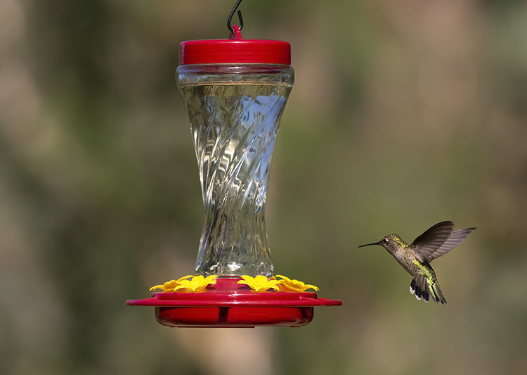 hummingbird at Paradise Hummingbird Feeder