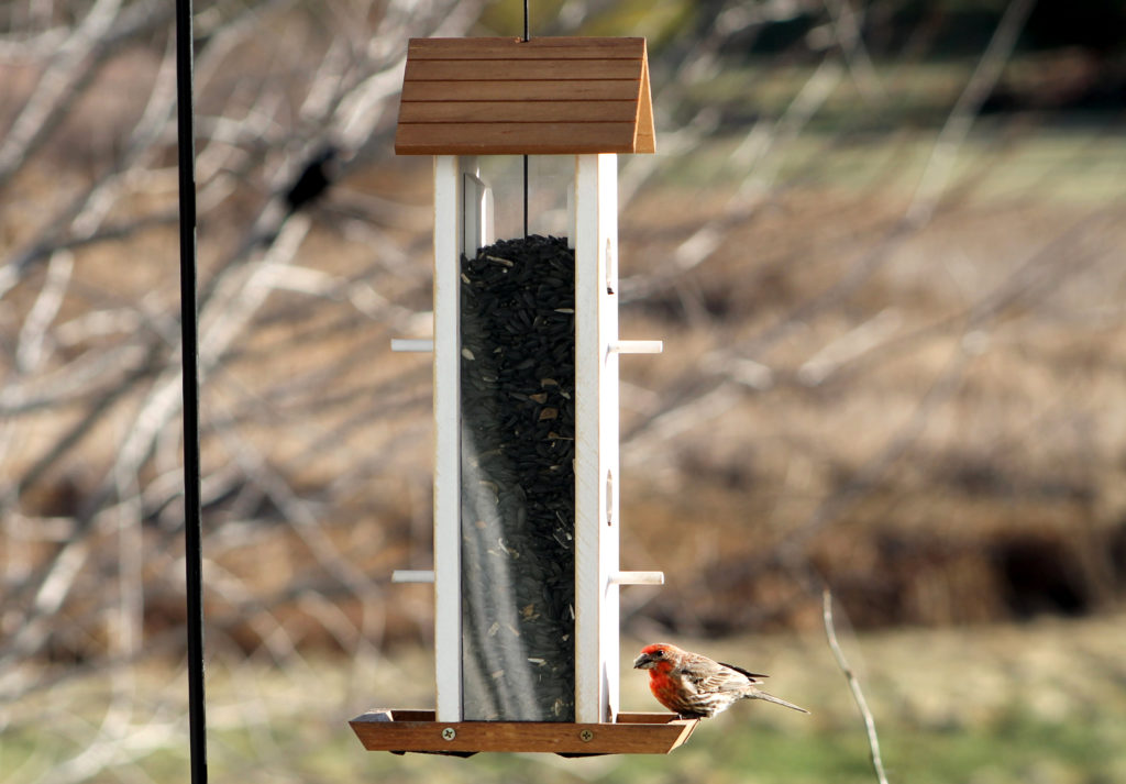 house finch eating from Stokes Select Tower Wood Feeder