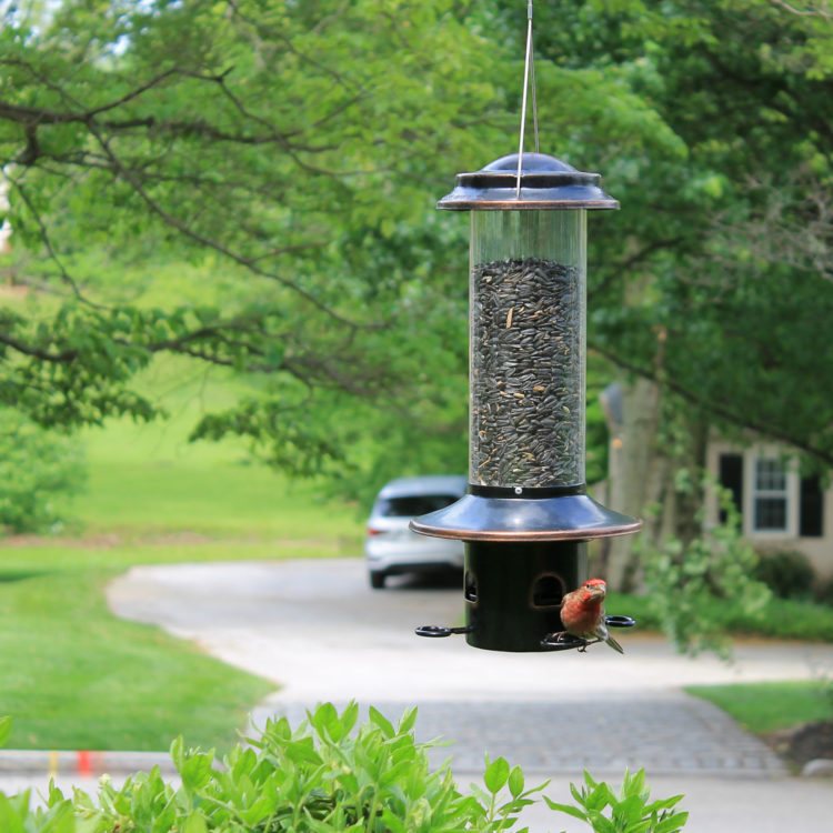 house finch feeding from Squirrel-X MX5 Squirrel-Resistant Bird Feeder